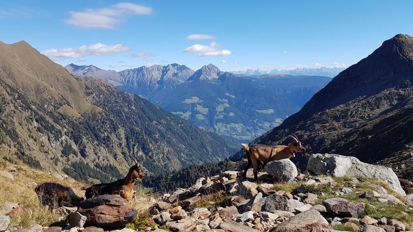 Bergziegen_Spronserseen.jpg